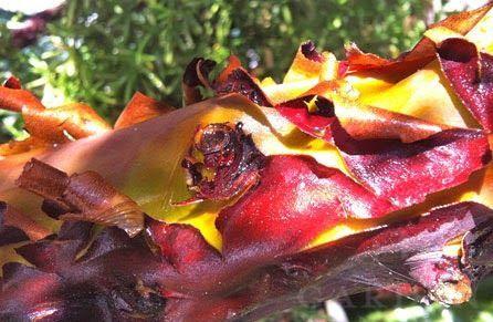 BaconPlant
